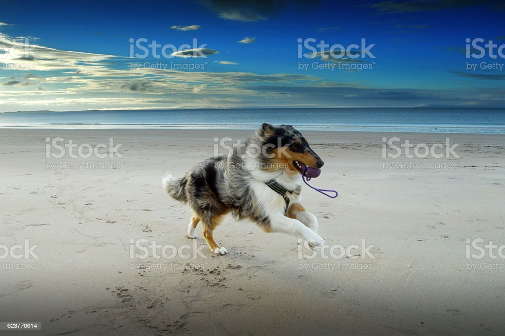 Rough collie dog running on beach with ball stock photo