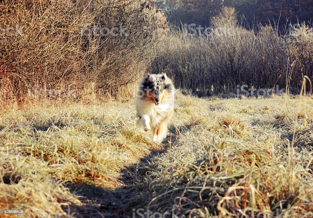 Rough collie dog running through field stock photo