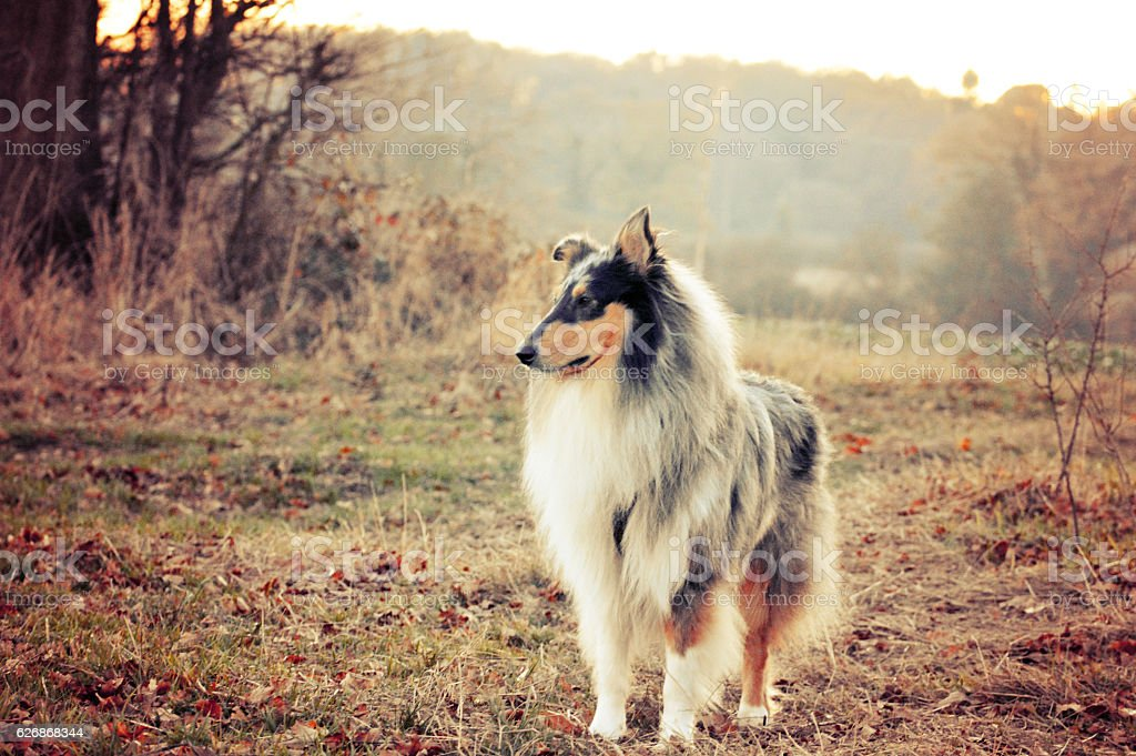 Rough collie dog standing in field stock photo