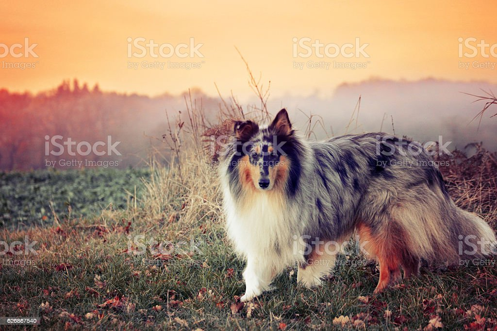 Rough collie dog with sunset behind stock photo