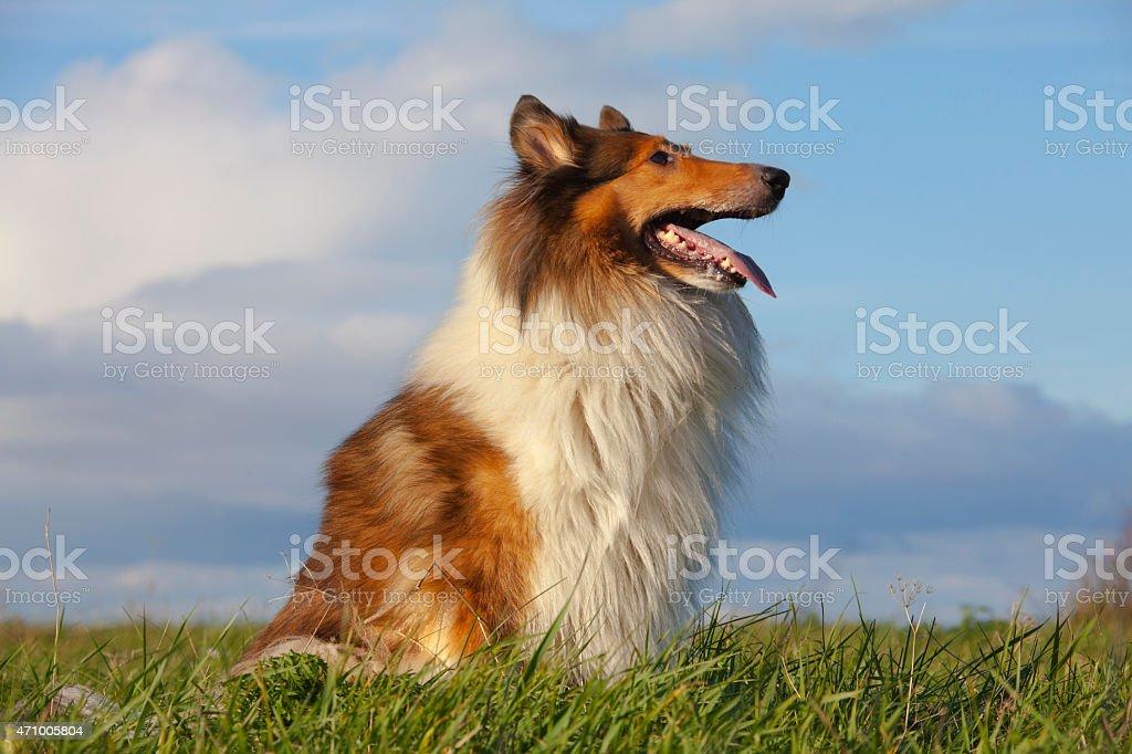 A Rough Collie enjoying outdoors stock photo
