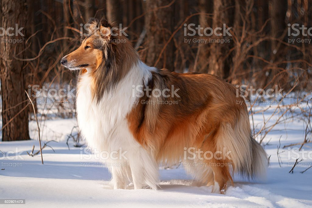 Rough collie in winter forest. stock photo