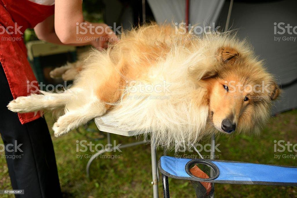 Rough collie stock photo
