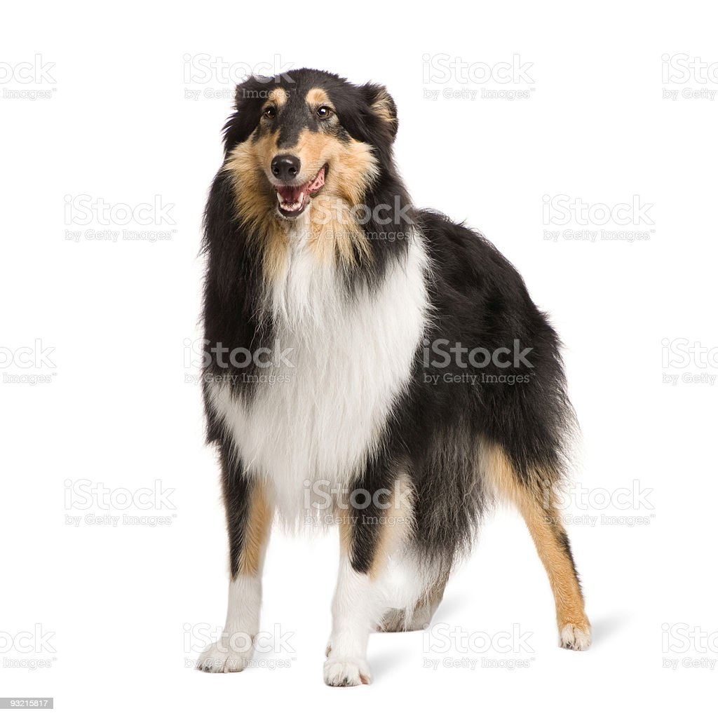 Rough Collie (2 years) stock photo