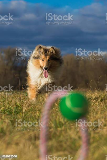 Rough collie running dog toy in foreground picture id861923536?b=1&k=6&m=861923536&s=612x612&h=ncaap1pn4m6qrjeonv05xo04hz0 p0a9mufyfcyv4ze=