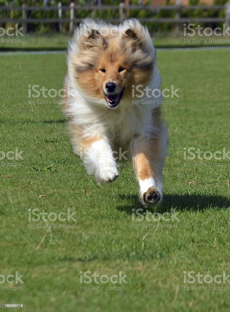 Rough collie running in park stock photo