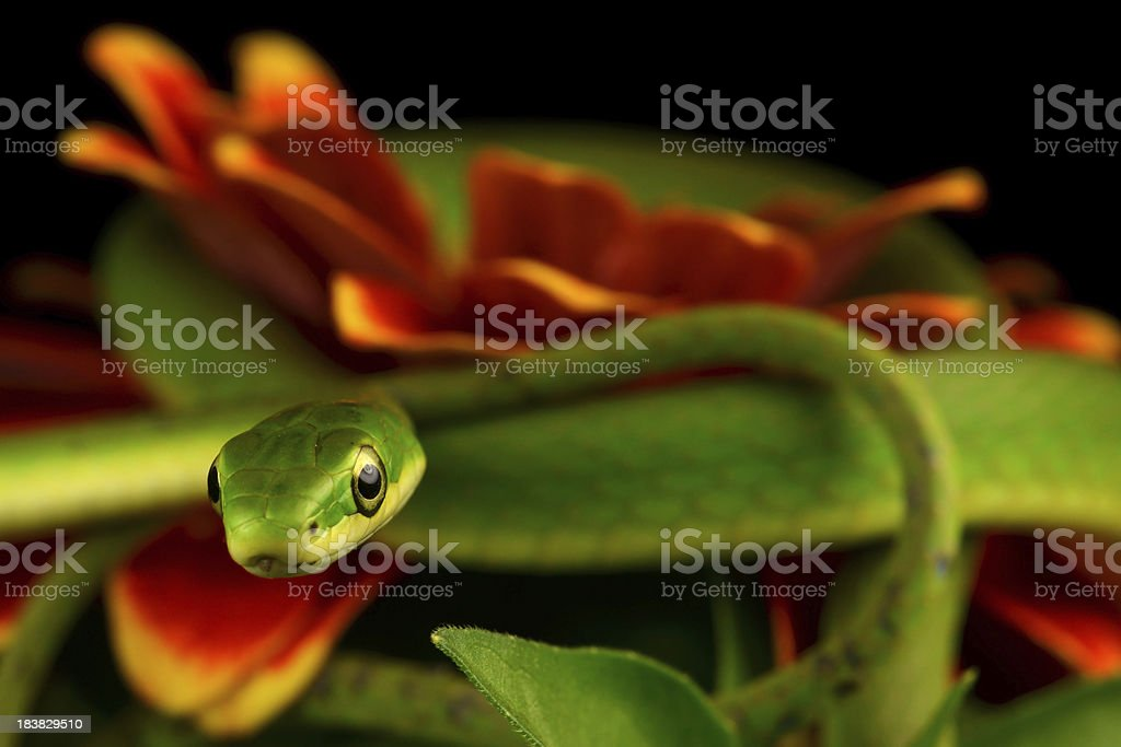 Rough Green Snake Curled on a Zinnia (closeup) stock photo
