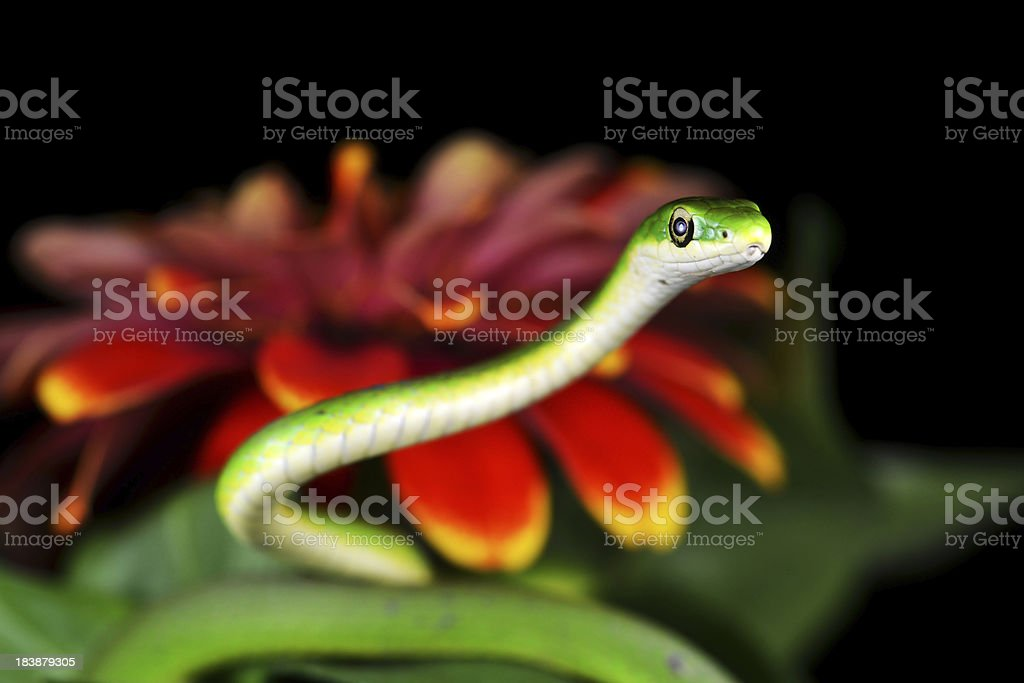 Rough Green Snake Peeking out from the Zinnia royalty-free stock photo