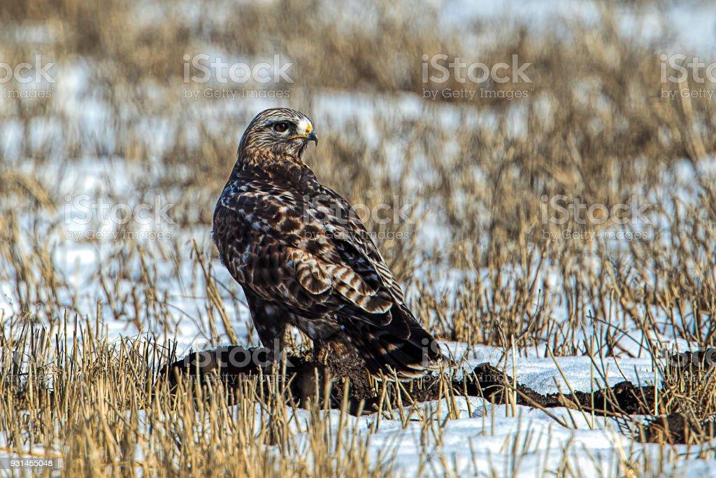 Rough legged hawk on snowy field. stock photo