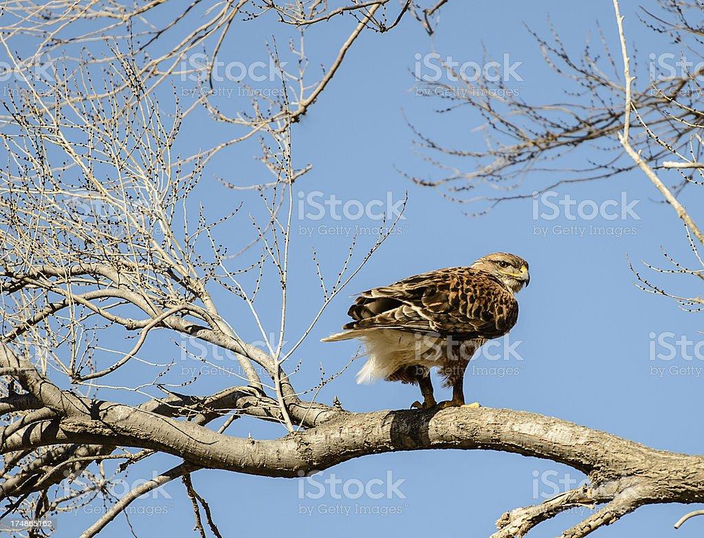 Rough Legged Hawk  on tree limb stock photo