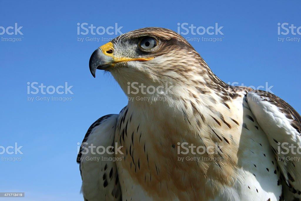 Rough Legged Hawk stock photo