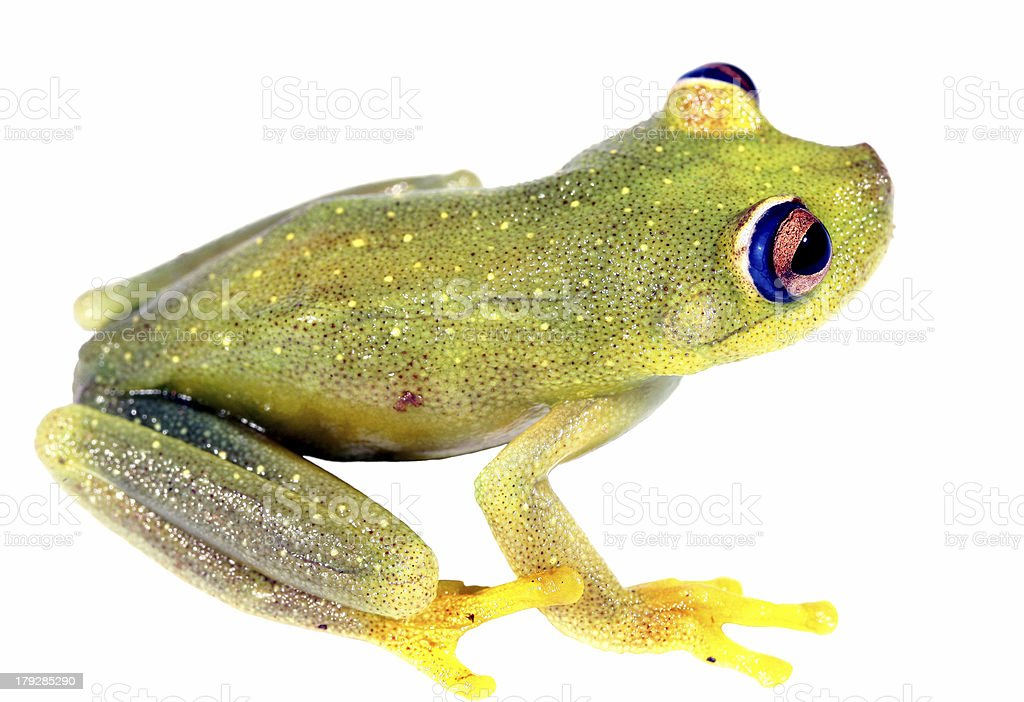 Rough Skinned Green Treefrog (Hypsiboas granosus) stock photo