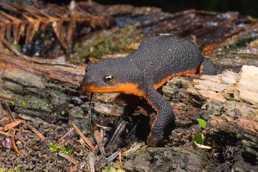Rough Skinned Newt, Taricha granulosa, Van Damme State Park on the Northern California Coast.  Amphibia, Urodela, Salamandridae. This animal has  toxins in skin glands as a defense against predation.