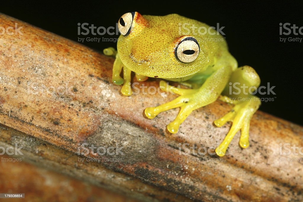 Rough skinned treefrog Hypsiboas granosus stock photo