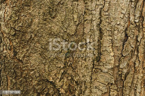 Rough structured texture of the old tree bark, abstract background.
