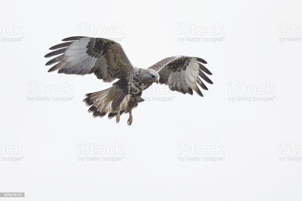 Rough-legged buzzard (Buteo lagopus) hovering in the sky. stock photo