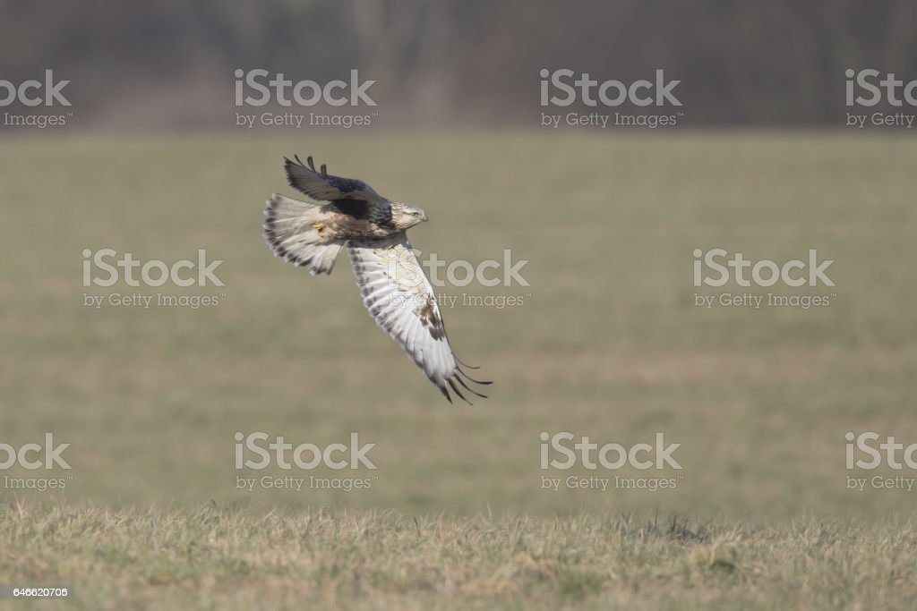 Rough-legged buzzard (Buteo lagopus) in flight above the grass. stock photo