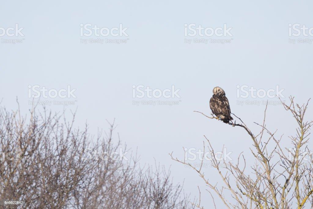 Rough-legged buzzard (Buteo lagopus) in flight on a blue sky. stock photo