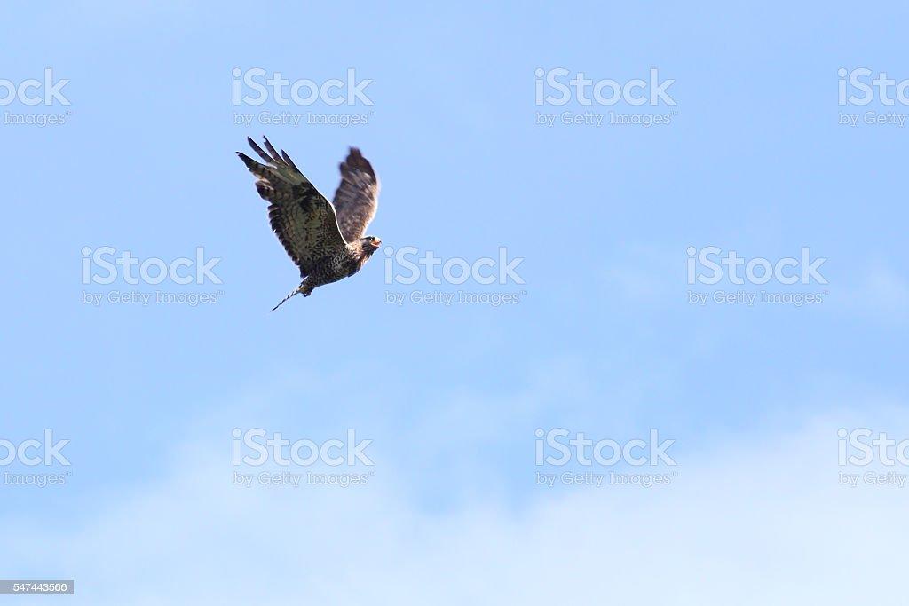 Rough-legged buzzard (Buteo lagopus) in-flight on blue sky stock photo