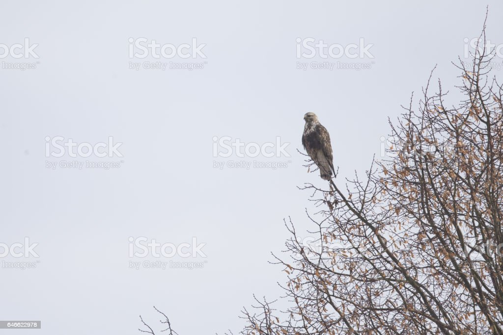 Rough-legged buzzard (Buteo lagopus) perched in a tree. stock photo