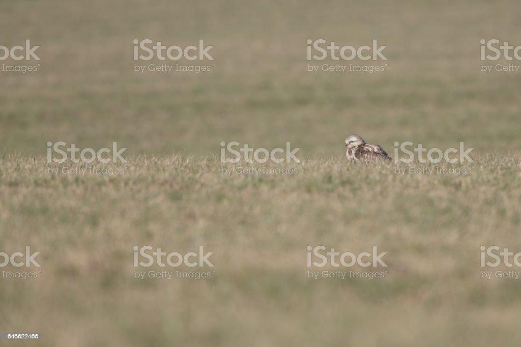 Rough-legged buzzard (Buteo lagopus) perched in the grass. stock photo