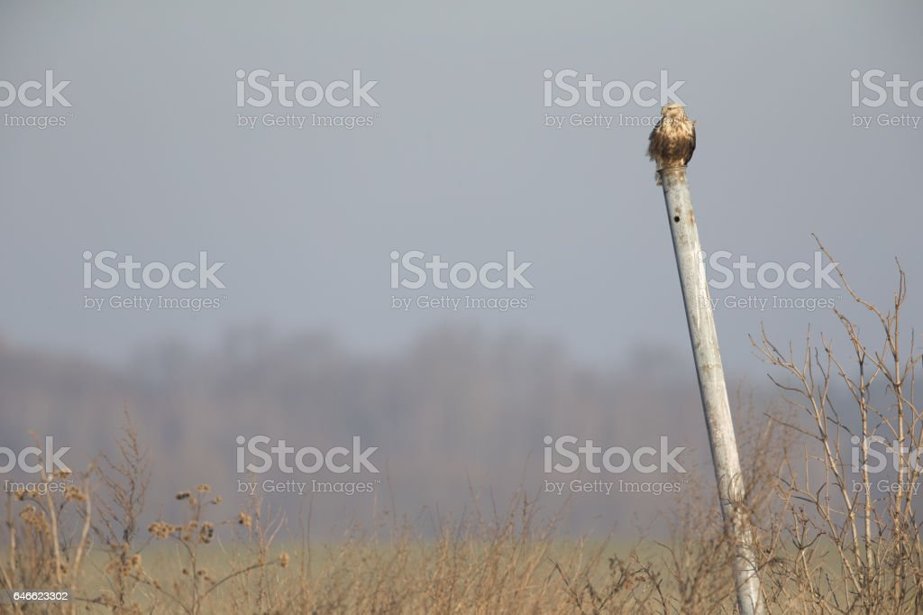 Rough-legged buzzard (Buteo lagopus) perched on a pole. stock photo