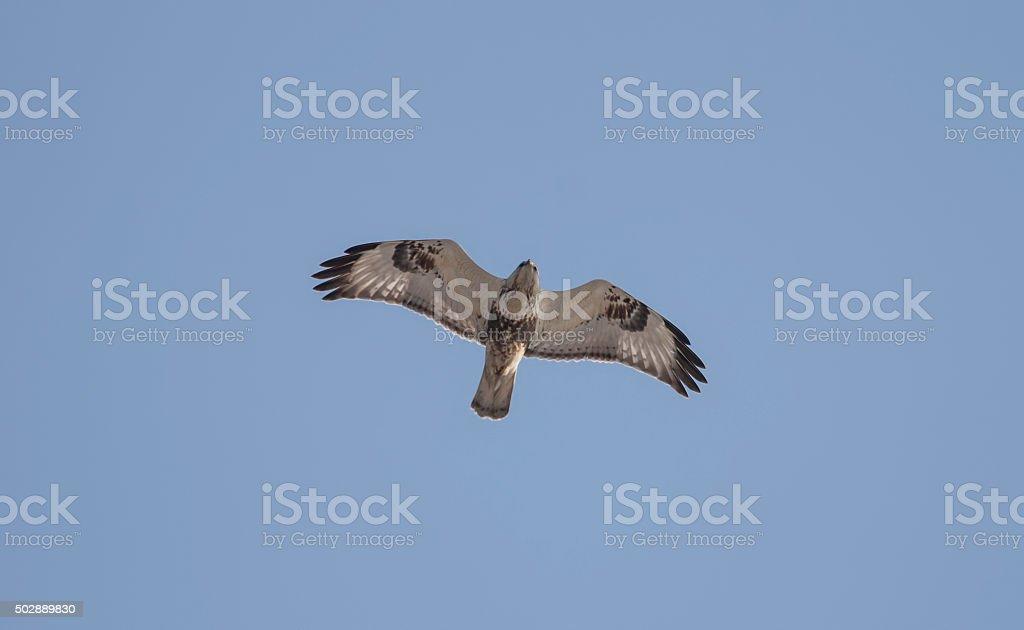 Rough-legged Buzzard (Buteo lagopus) stock photo