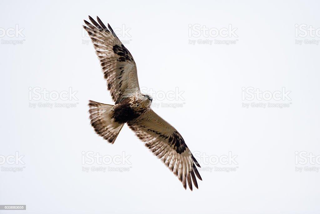 Rough-legged buzzard foto
