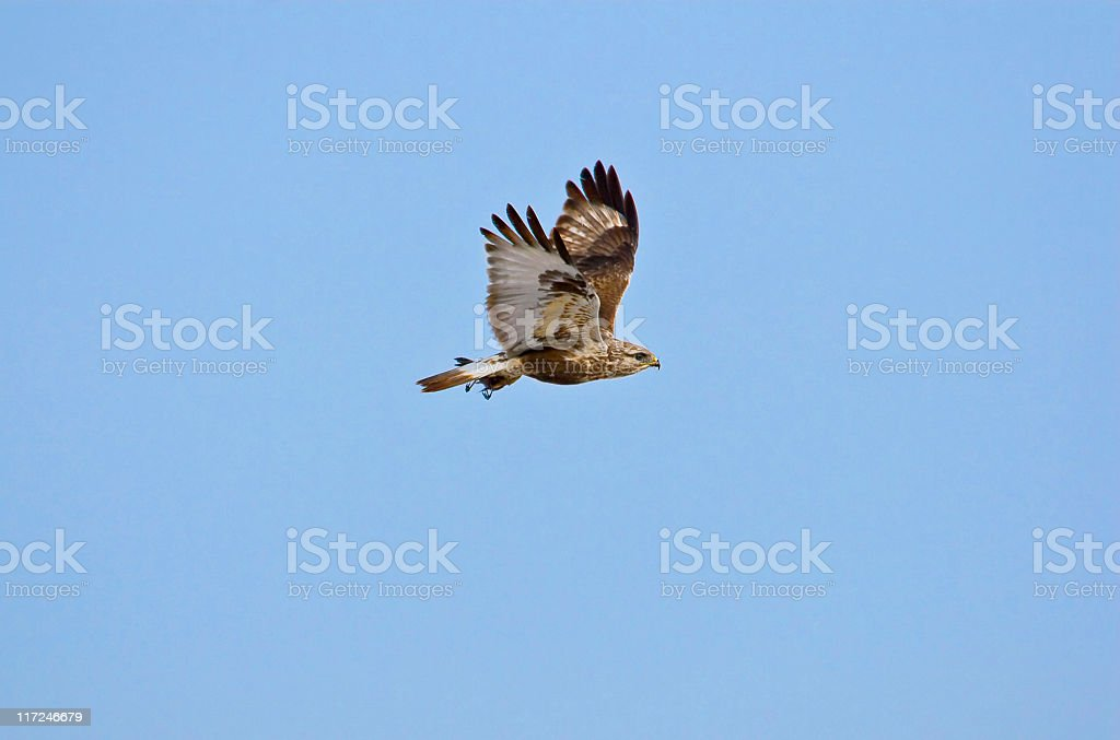 Rough-legged hawk in flight with prey stock photo