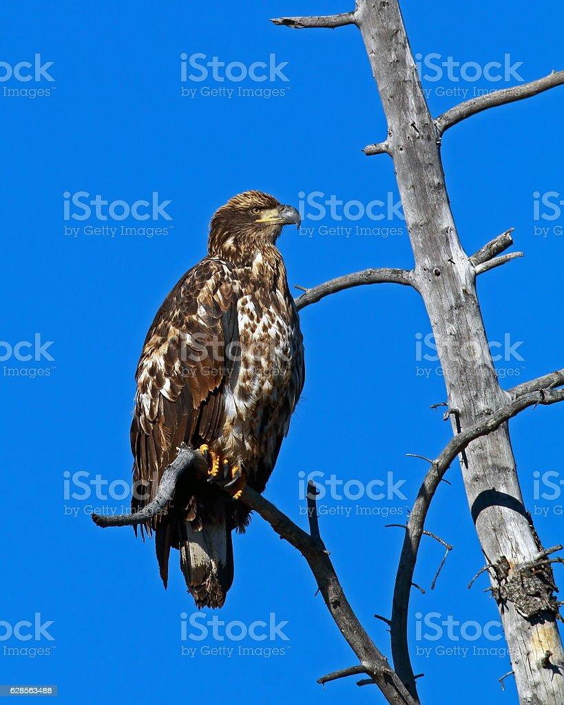 Rough-legged Hawk in Tree stock photo