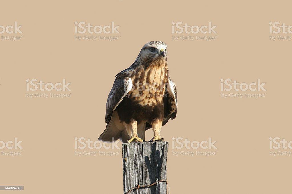 Rough-legged Hawk stock photo