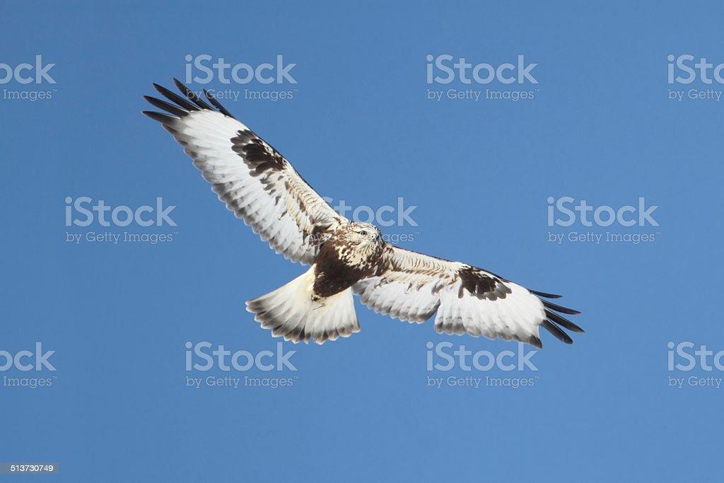 Rough-legged Hawk (Buteo lagopus) stock photo