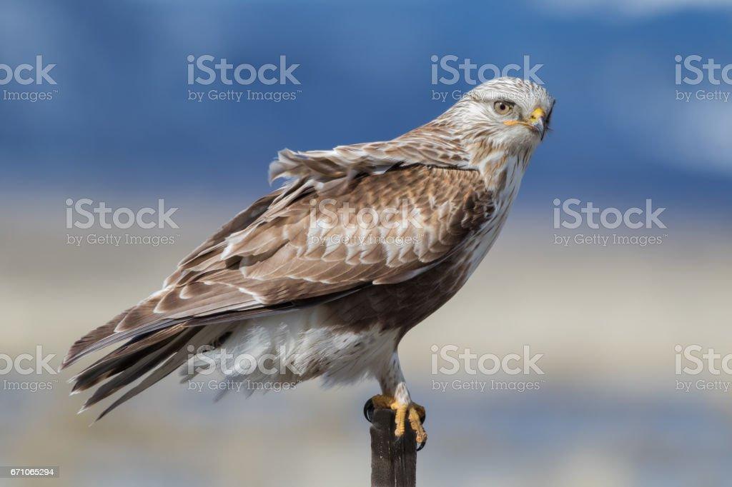 Rough-legged Hawk Portrait stock photo