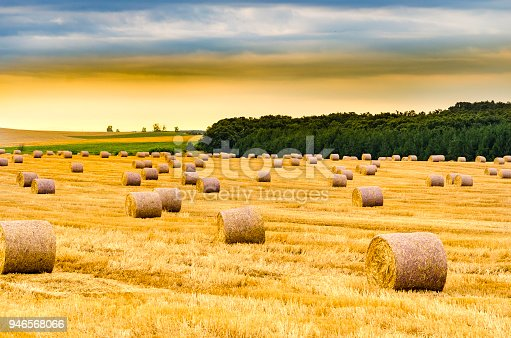 Round bales of hay freshly harvested in a field on a sunny morning sunrise