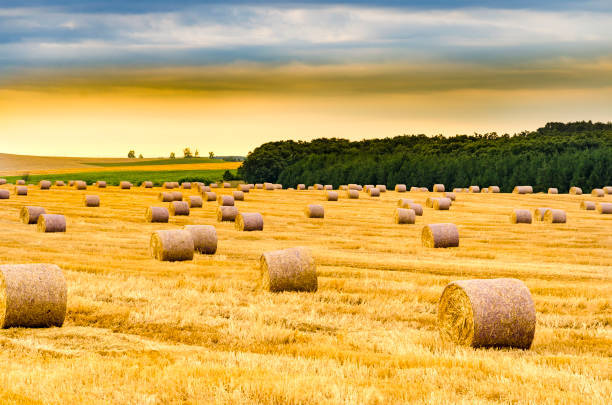 Round bales of hay freshly harvested in a field on a sunny morning sunrise Round bales of hay freshly harvested in a field on a sunny morning sunrise hay stock pictures, royalty-free photos & images