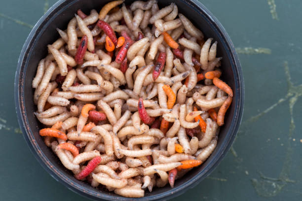 Round box filled with maggots worms stock photo