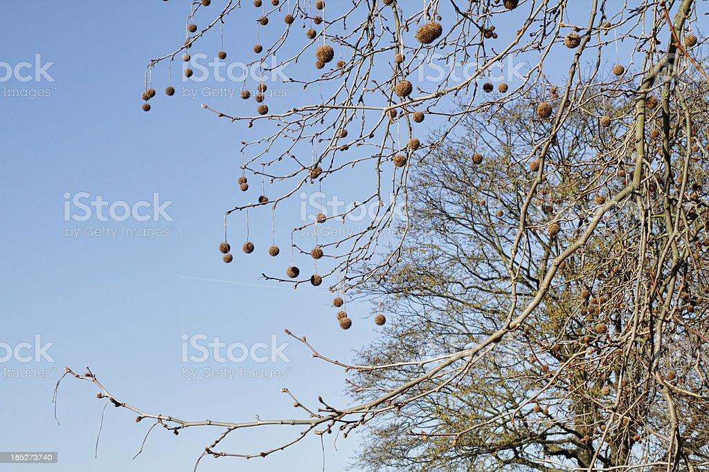 London Plane Tree Platanus X Hispanica Seed Balls Stock