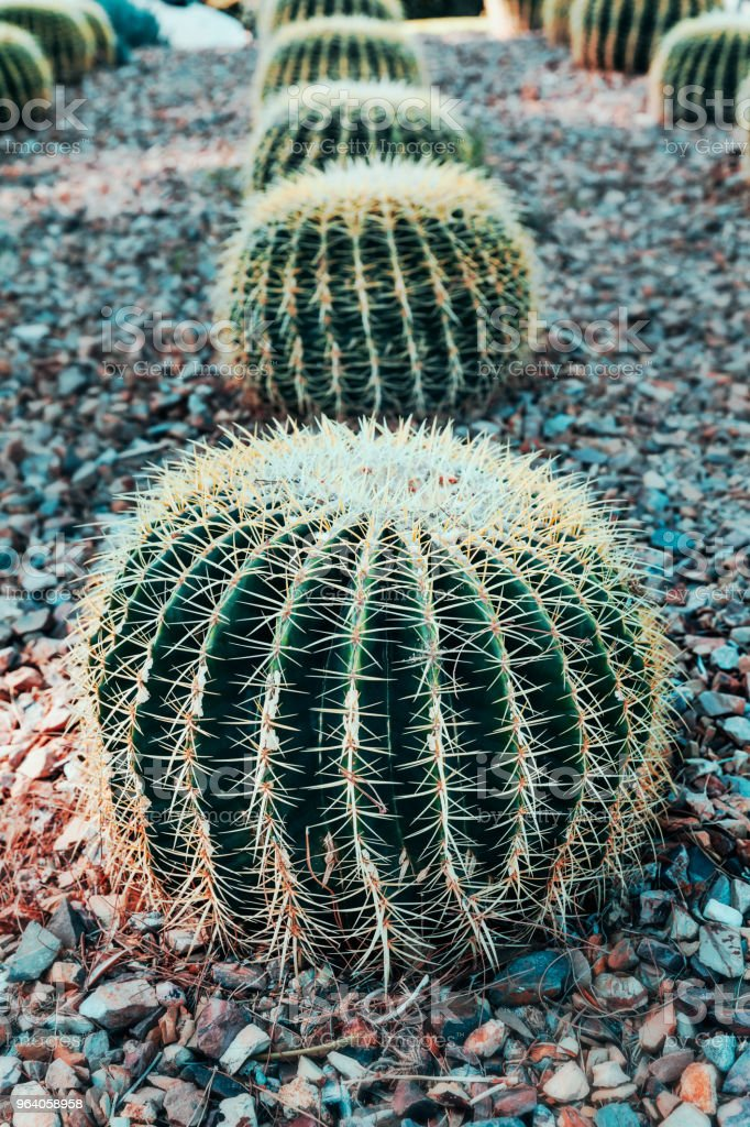 Round Cactus In Desert For Design - Royalty-free Abstract Stock Photo