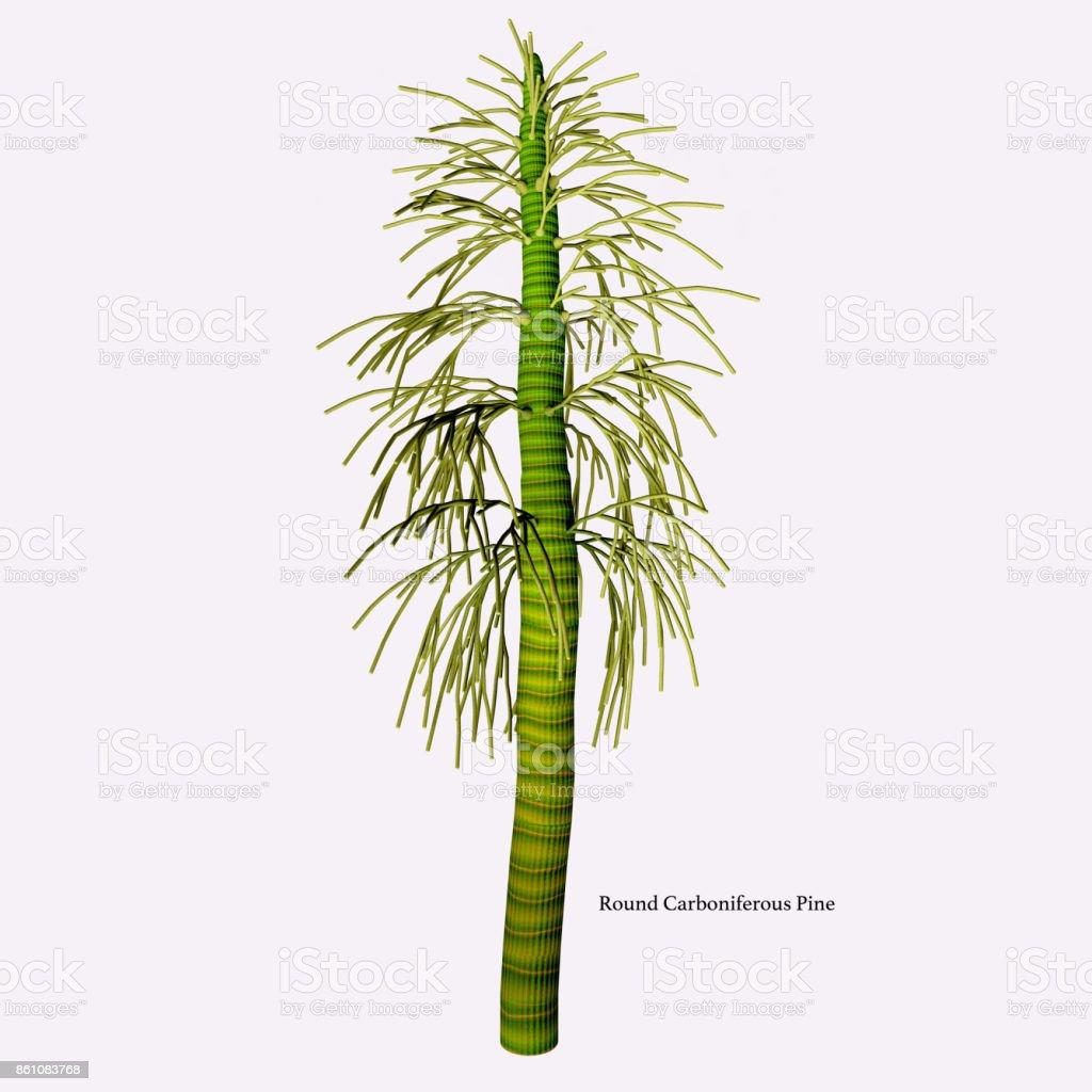 Round Carboniferous Pine stock photo