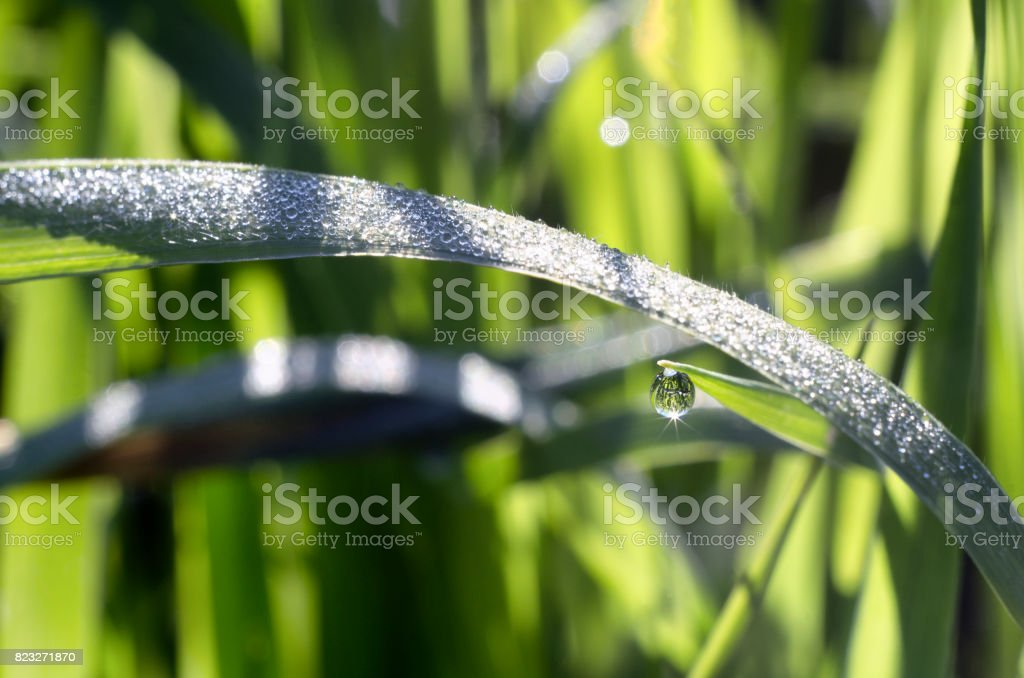 Round drop of dew in the grass stock photo