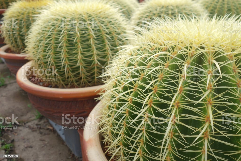 Round green cactus stock photo