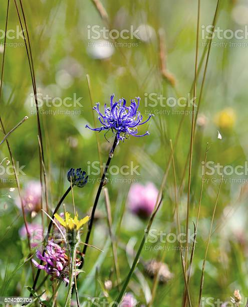Wild flower Round-headed Rampion, scarce nationally UK but common on Sussex chalk downland. County flower of Sussex.