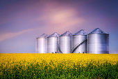 horizontal image of steel storage bins sitting in a yellow canola field on a farm in the early evening with a setting sun