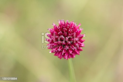 Allium sphaerocephalo commonly known as round-headed leek wild flowers blooming in spring