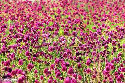 Round-headed leek flowers (Allium sphaerocephalon)