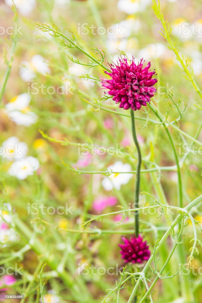 Round-headed leek or garlic royalty-free stock photo