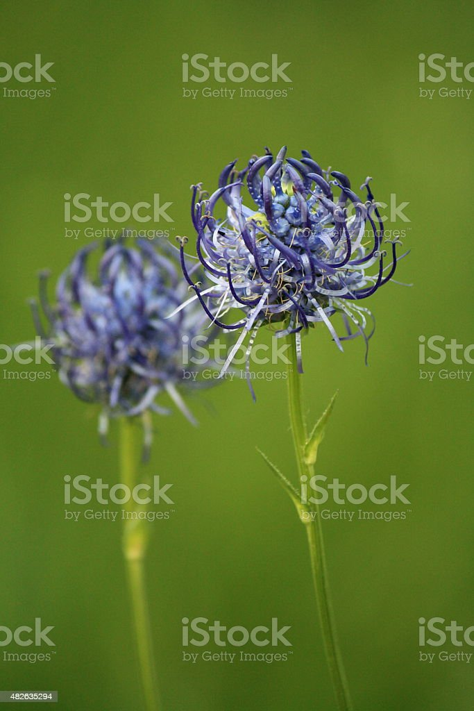 round-headed rampion flowers stock photo