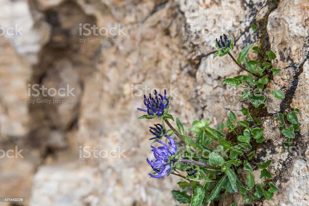 Round-headed Rampion (Phyteuma orbiculare) -  Kugelige Teufelskralle stock photo