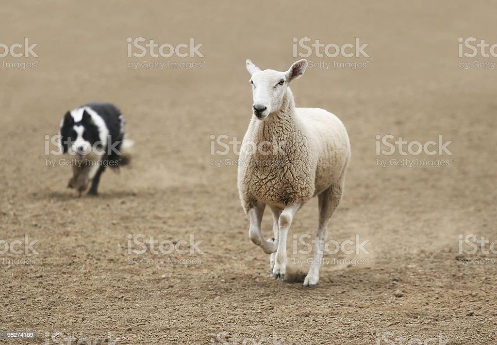 Arrotondamento una pecora foto stock royalty-free