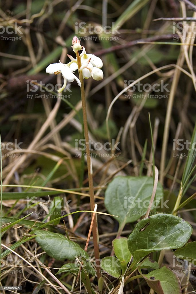 Round-leaved Wintergreen (Pyrola rotundifolia) royalty-free stock photo